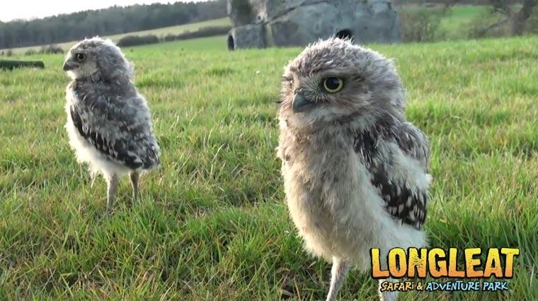 Zwei Baby-Eulen zum Liebhaben baby_owls
