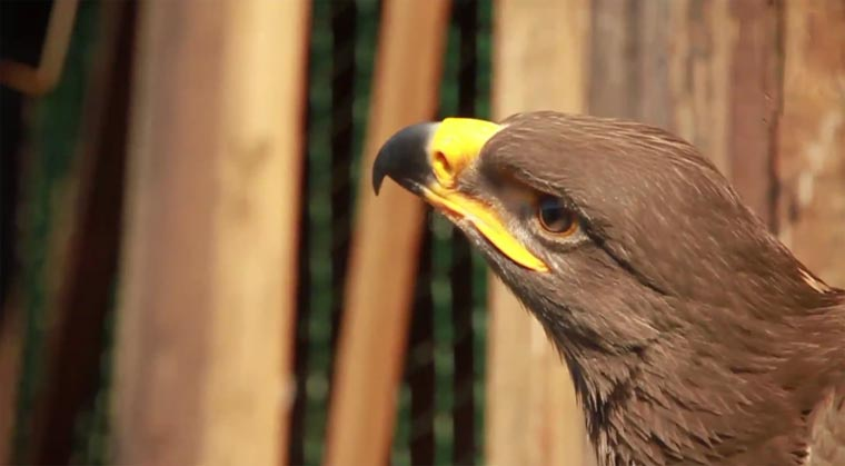 Adlerflug mit Kopfkamera eaglecam