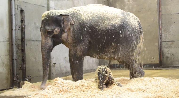 1. Lebensjahr von Elefant Lily in 2 Minuten elephant_lily