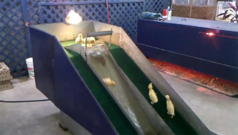 Küken spielen auf Wasserrutsche kuekenwaterslide