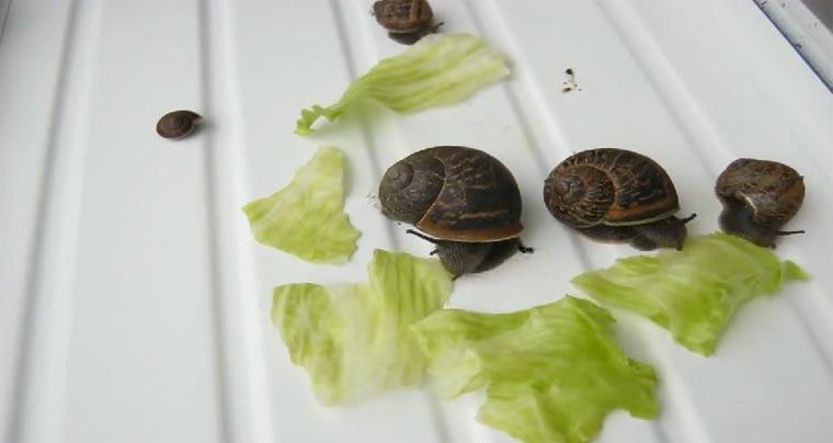 Timelapse: Salatvertilgende Schneckenbande salatschnecken