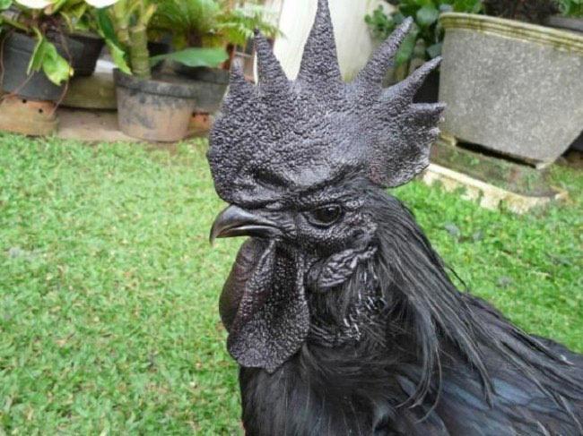 Komplett schwarze Hühner Ayam_Cemani_02