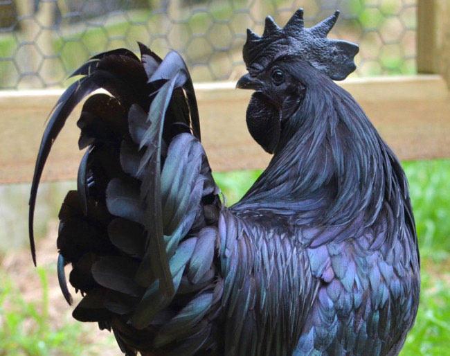 Komplett schwarze Hühner