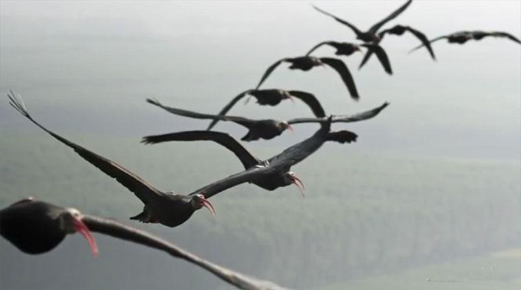 Warum fliegen Vögel eigentlich in V-Formation? voegelvformation