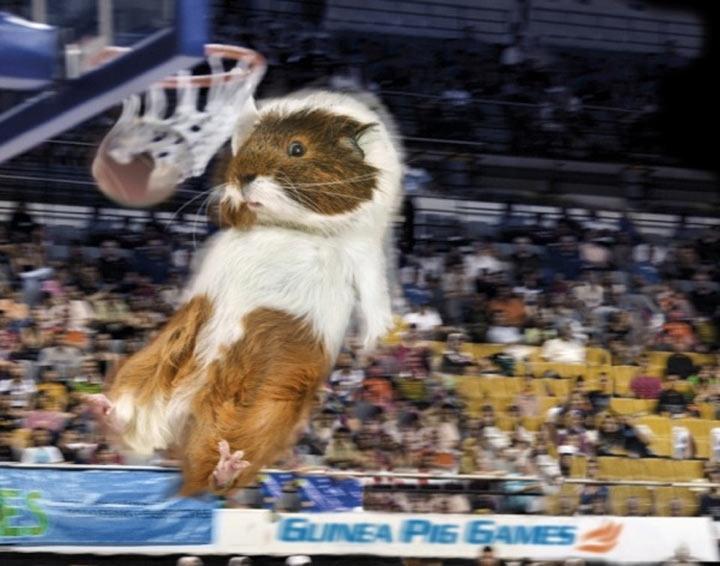 Meerschweinchen-Olympiade Guinea_Pig_Games_04