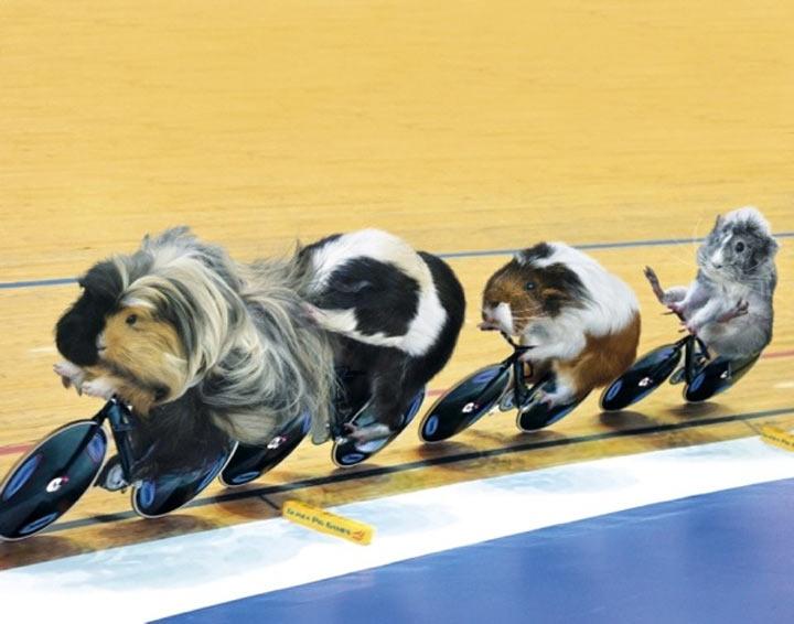 Meerschweinchen-Olympiade Guinea_Pig_Games_05