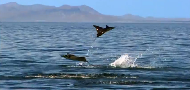 BBC One: Pelicans and Flying Rays