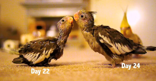 Die ersten 30 Tage im Leben zweier Nymphensittiche baby_cockatiels