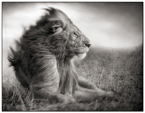 black/white wildlife fotografie by Nick Brandt