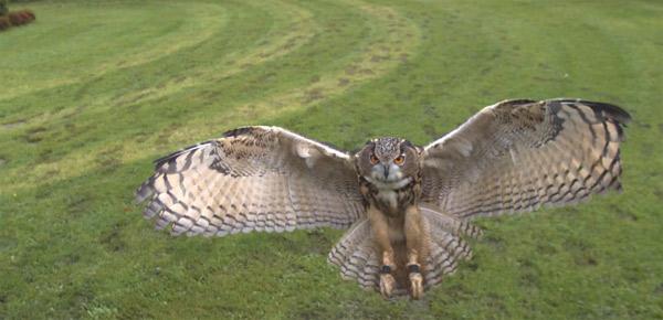 Owlmotion: Adlereulen-Greifflug in 1.000 fps owlmotion
