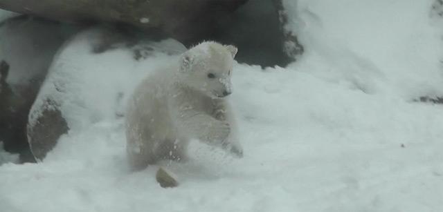 Extra Fluff: Eisbärchen trifft das erste Mal auf Schnee polar_bear_cub_snow