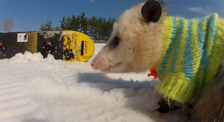Das snowboardende Opossum snowboarding_oppossum