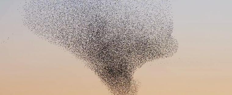 Ballett eines Vogelschwarms