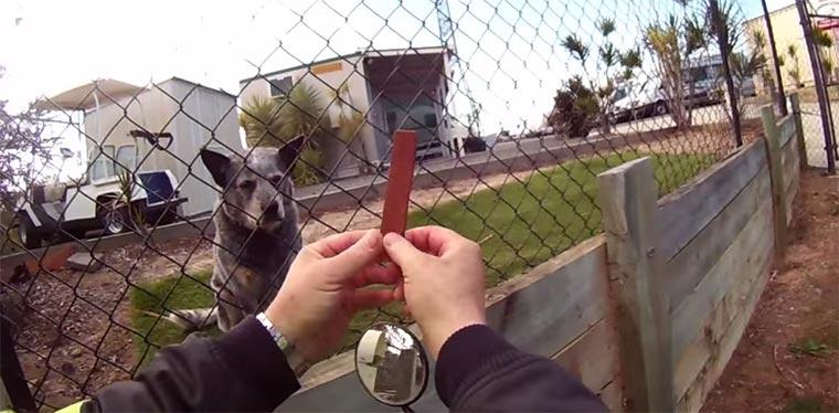 Postbote vs. Hunde australian_postman
