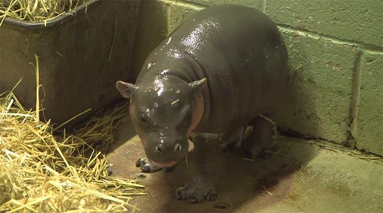 Nur ein Baby-Zwergflusspferd baby-hippo