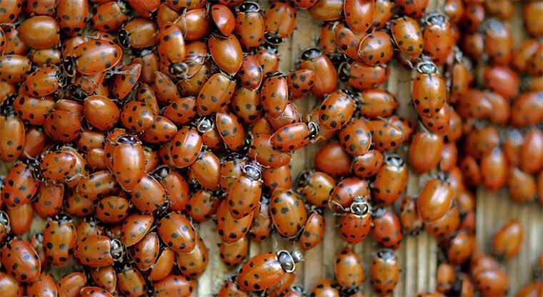 Marienkäfer-Kolonie ladybugs