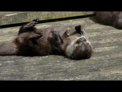 Der Steinjonglierende Otter
