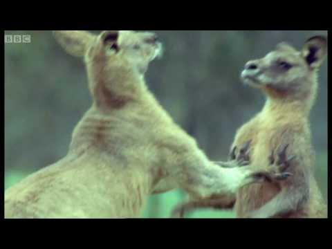 Boxende Känguruhs. Echt jetze!