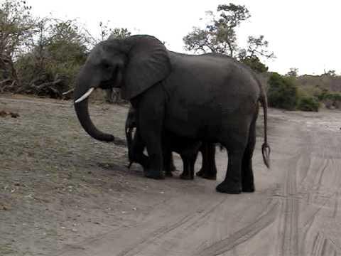Mäuse erschrecken Elefanten vielleicht…