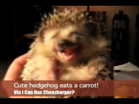 Ein Igel, der eine Karrotte isst.