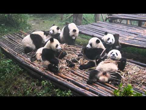 Pandas machen Frühstück