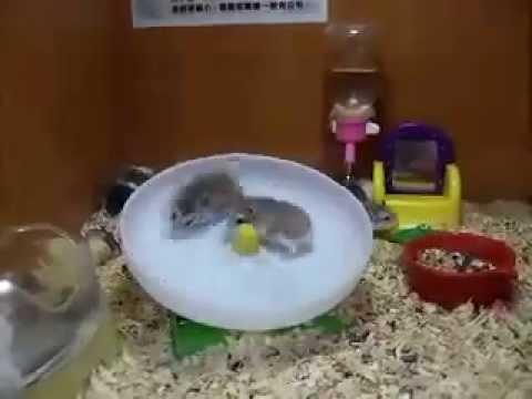 Hamsterhürdenlauf