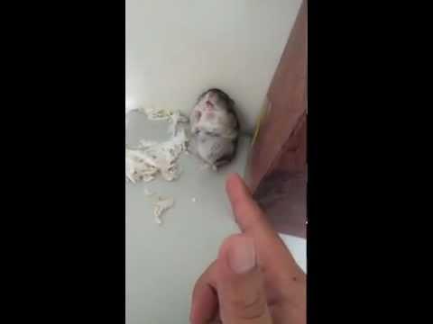 Süßer kleiner Hamster wird erschossen