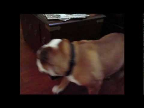 Perpetual motion bulldog