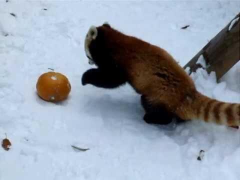 Kürbis macht kleinen Panda froh