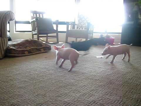 Finde den Fehler: 3 kleine Schweinchen
