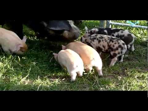 Schweine können fliegen