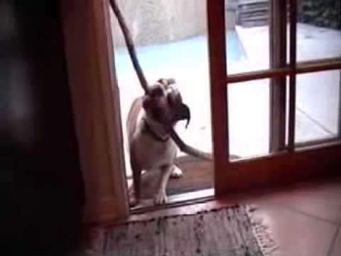 Bulldogge vs. Tür