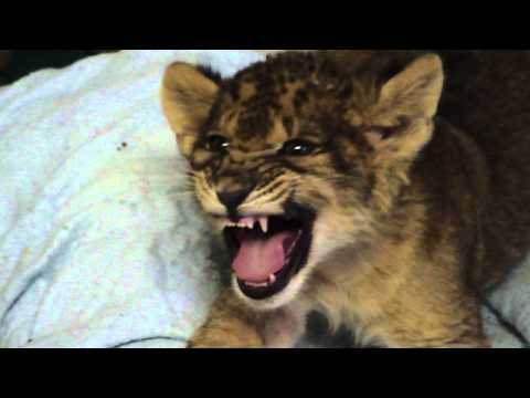 Kleines Löwenbaby versucht sich im Brüllen