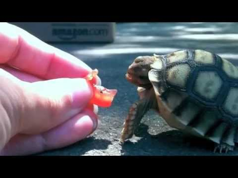 Schildkröte vs. Tomate