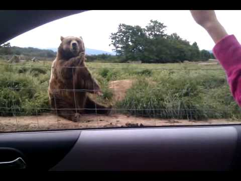 Polite bear is being polite