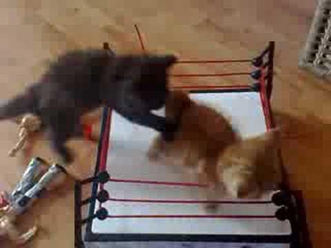 Kätzchen-Wrestling