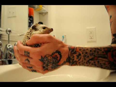 Awwwwww – Ein Igel wird gebadet