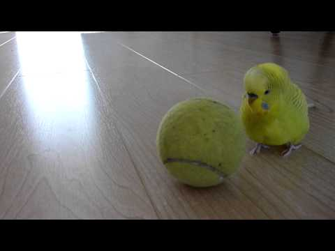 Wellensittich balanciert auf Tennisball