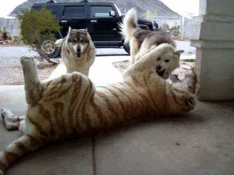 Schluss mit süß: Hunde tollen mit Tiger herum
