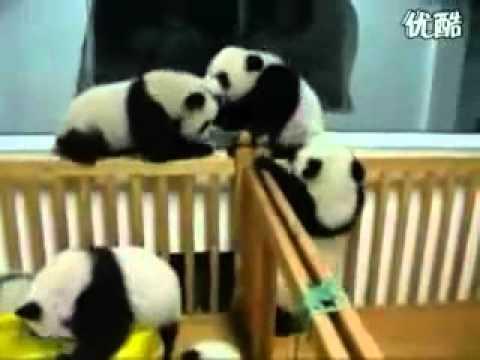Zwei Laufstalle voller Pandas