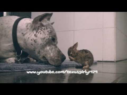 Liebe: Bulldoge schleckt Baby-Hasen ab
