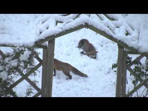 Füchse spielen im Schnee