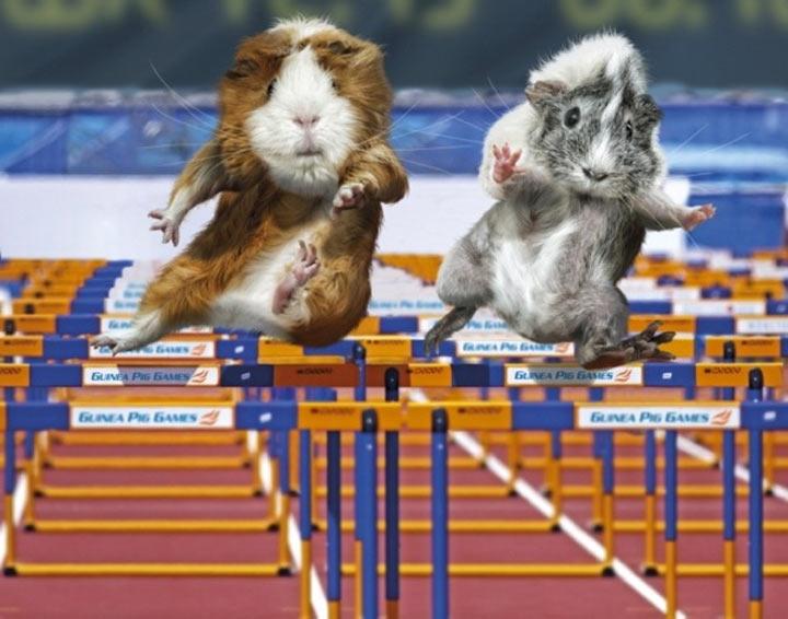 Meerschweinchen-Olympiade