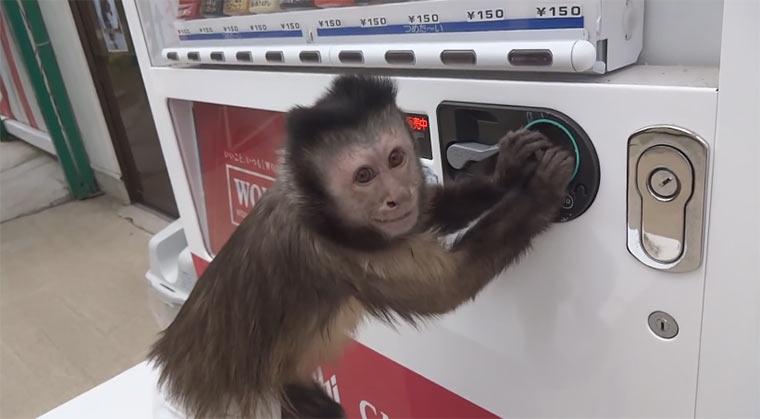 Äffchen, hol mir eine Flasche aus dem Automaten!