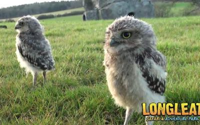 baby_owls