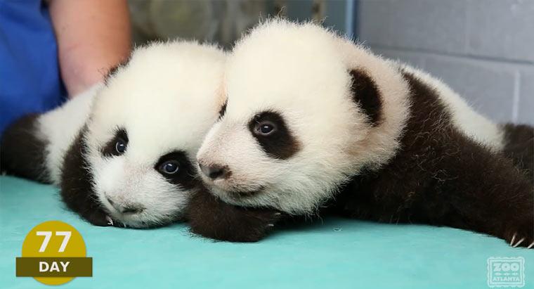Die ersten 100 Tage von Babypandas