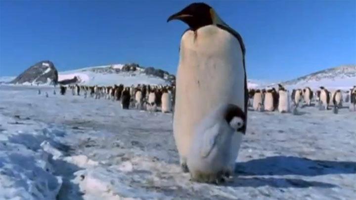 Awww: ersten Schritte eines Baby-Pinguins