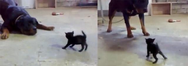 stämmiger Großhund vs. zerbrechliches Baby-Kätzchen