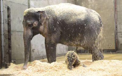 elephant_lily