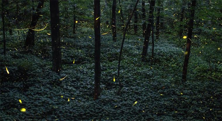 Glühwürmchen-Timelapse